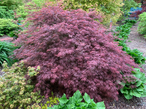 Acer palmatum 'Dark Straw' Japanese Maple