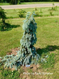 Picea pungens 'The Blues' Weeping Blue Spruce