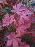 Acer palmatum 'Miss Maple' Japanese Maple