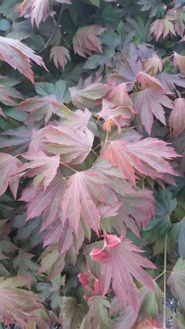 Acer circinatum x palmatum 'Lupe' Loopy Japanese Maple