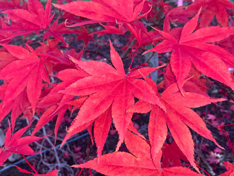 Acer palmatum 'Omato' Japanese Maple