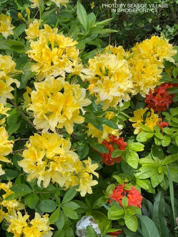 Azalea 'Lemon Lights' Yellow Flowers Deciduous Azalea