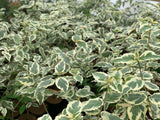 Cornus kousa 'Summer Fun' White Variegated Chinese Dogwood