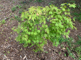 Acer palmatum 'Fountain of Youth' Japanese Maple