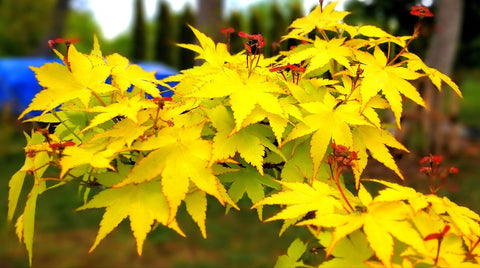 Acer palmatum 'Summer Gold' Japanese Maple