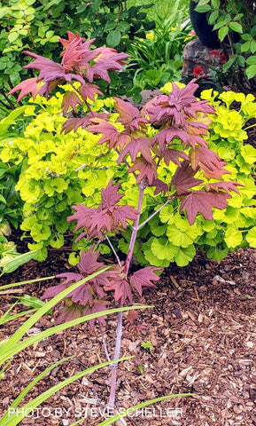 Acer circinatum 'Burgundy Jewel' Japanese Maple