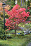 Acer palmatum 'Osakazuki' Japanese Maple