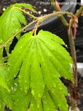 Acer shirasawanum 'Ookisha' Japanese Maple