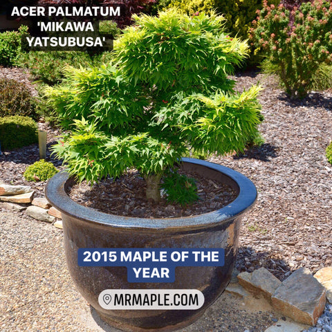 Buy Zone 8 Hardiness Japanese Maples Tagged Japanese Maple Mr