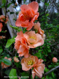 Chaenomeles X superba 'Cameo' Dwarf Flowering Quince