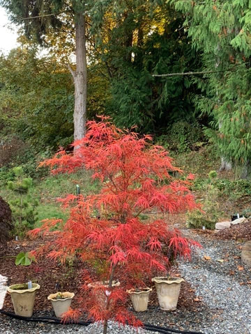 Acer palmatum 'Red Pygmy' Red Strapleaf Japanese Maple