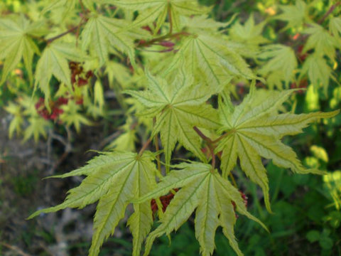 Acer palmatum 'Alpine Silver Thread' Japanese Maple