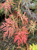Acer palmatum 'Firecracker' Japanese Maple