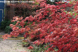 Acer palmatum 'Chisio Improved' Red Japanese Maple