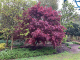 Acer palmatum 'Moonfire' Japanese Maple
