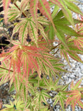Acer palmatum 'Ikandi' Japanese Maple