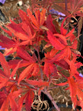 Acer palmatum 'Geisha Gone Wild' Japanese Maple