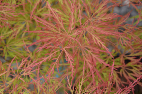 Acer palmatum 'Watnong' Japanese Maple