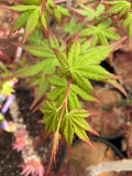 Acer palmatum 'Looking Glass Falls'