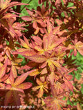 Acer palmatum 'Winter's Columnar Red' Japanese Maple