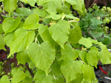 Tilia cordata 'Shibamichi Gold' Golden Little Leaf Lindon