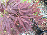 Acer palmatum 'Burgundy Lace' Japanese Maple