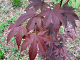 Acer oliverianum 'Hot Sauce' Japanese Maple