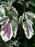 Parrotia persica 'Lamplighter' Variegated Persian Ironwood