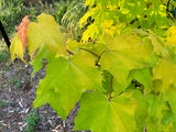 Acer longipes 'Gold Coin' Golden Maple