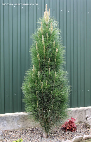 Pinus nigra 'Green Tower' Columnar Austrian Black Pine Tree