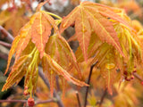 Acer palmatum 'Kristin's Star' Japanese Maple