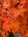 Acer palmatum 'Columnar' Japanese Maple