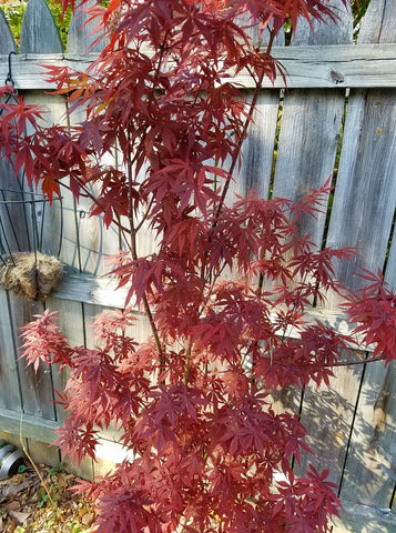 Acer palmatum 'Rite of Spring' Japanese Maple
