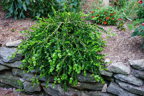 Buxus sempervirens 'Unraveled' Dwarf Weeping Boxwood