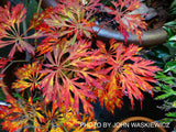 Acer japonicum 'Abbey's Weeping' Dwarf Full Moon Japanese Maple