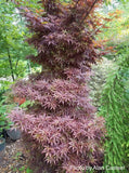 Acer palmatum 'Skeeter's Broom' Narrow Red Japanese Maple