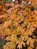Quercus rubra 'Greg's Variegated' Variegated Red Oak Tree