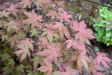 Acer palmatum 'Baby Ghost' Japanese Maple