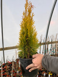Thuja occidentalis 'Janed Gold' Highlights™ Golden Columnar Arborvitae
