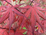 Acer palmatum 'Dark Knight' Japanese Maple