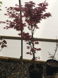 Acer palmatum 'Mahogany' Japanese Maple