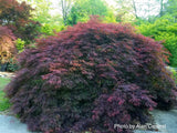 Acer palmatum 'Garnet' Japanese Maple