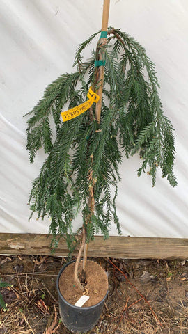 Sequoia sempervirens 'Yurok Prince' Dwarf Coastal Redwood