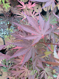 Acer shirasawanum Red Dawn Seedling Japanese Maples