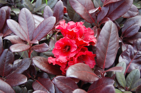 Rhododendron 'Everred' Red Foliage Red Blooms