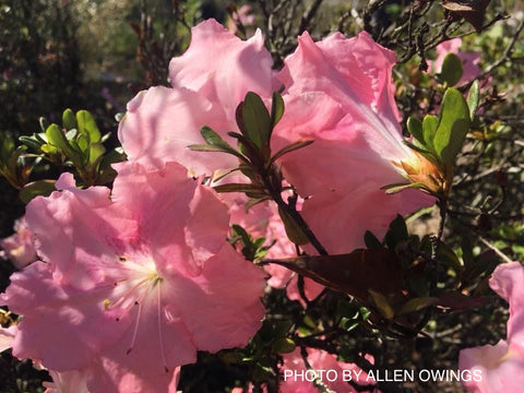 Azalea 'Watchet' Light Pink Robin Hill Azalea