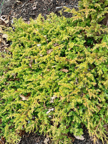 Juniperus rigida conferta 'All Gold' Golden Shore Juniper