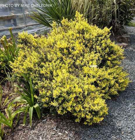 Ilex crenata 'Adorned' Touch of Gold™ Dwarf Variegated Japanese Holly