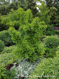 Ginkgo biloba 'Witch's Broom' WB Dwarf Ginkgo Tree