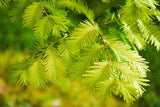Metasequoia glyptostroboides 'Ogon' Golden Dawn Redwood